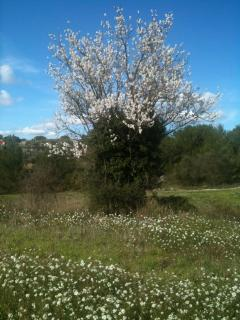an almond tree, part of a hike on the garrigue, just a five minute walk from the house